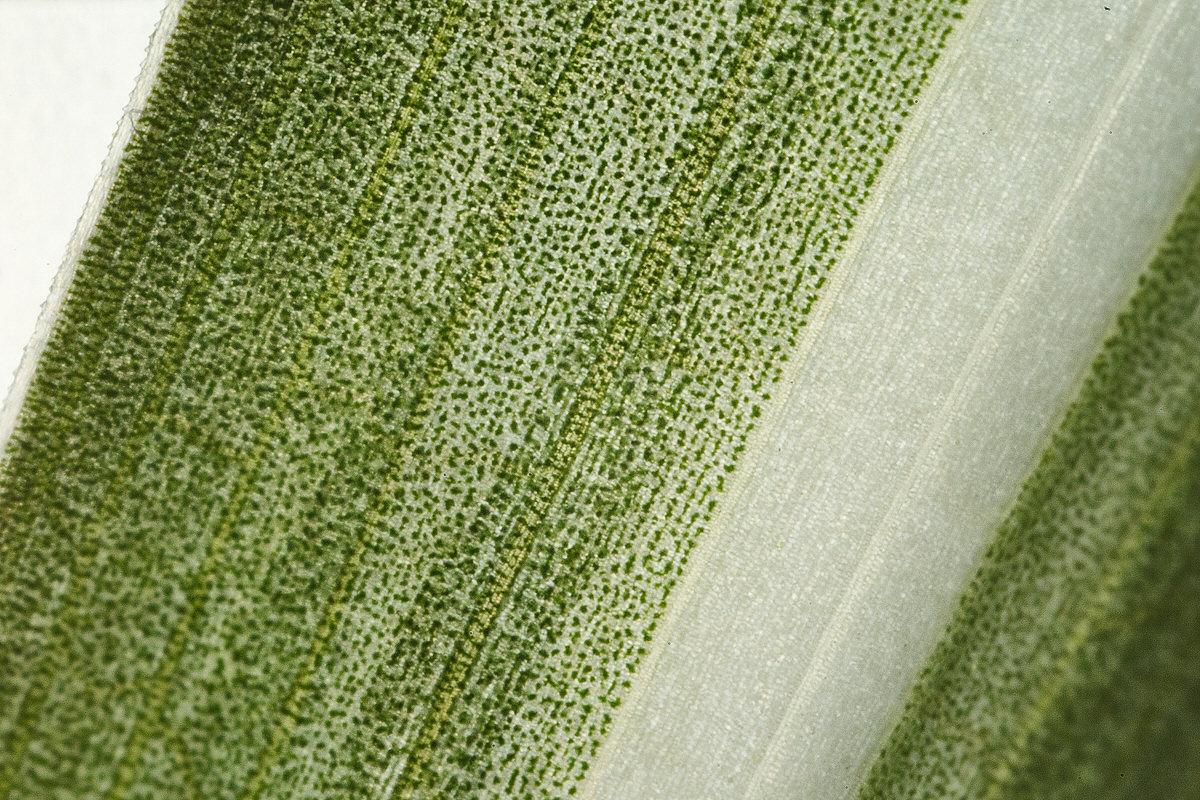 zdjęcie liścia laowa 25mm